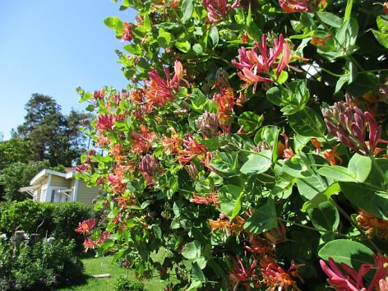 Kaprifol { Från absolut ingenstans så är hela min altanvägg full av Kaprifolens blommor.                                }