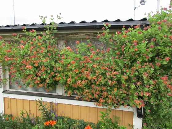 Kaprifol { Kaprifolen fortsätter att blomma. Dessa bilder är tagna en mulen junidag, strax innan regnet.                                                               }