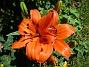 Lilja Idag skiner solen på mina första Liljor för året.                                2020-06-23 IMG_0002