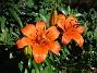 Liljor Idag skiner solen på mina första Liljor för året.                                2020-06-23 Liljor_0004