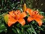 Liljor Idag skiner solen på mina första Liljor för året.                                2020-06-23 Liljor_0007