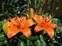 Liljor Idag skiner solen på mina första Liljor för året.                                2020-06-23 Liljor_0008
