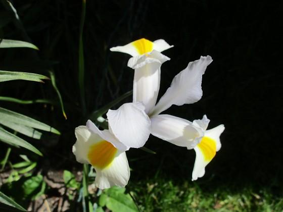 Iris { Iris Hollandica                                }