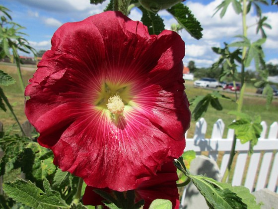 Stockros { Årets första Stockros - Alcea Rosea Ficifolia                                }