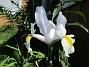 Iris Iris Hollandica 2020-07-02 Iris_0001