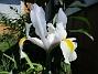 Iris Iris Hollandica                                2020-07-02 Iris_0004