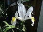 Iris Iris Hollandica                                2020-07-02 Iris_0005