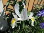 Iris Iris Hollandica                                2020-07-02 Iris_0006