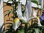Iris Iris Hollandica                                2020-07-02 Iris_0007