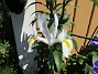 Iris Iris Hollandica                                2020-07-02 Iris_0008