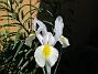 Iris Iris Hollandica                                2020-07-02 Iris_0016
