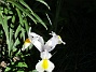 Iris Iris Hollandica                                2020-07-02 Iris_0020