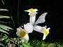 Iris Iris Hollandica                                2020-07-02 Iris_0023