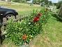 Staketet Nu börjar det komma fler och fler Liljor här vid staketet. 2020-07-02 Staketet_0002