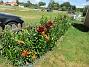 Staketet Nu börjar det komma fler och fler Liljor här vid staketet.                                2020-07-02 Staketet_0024