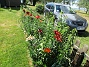 Staketet Nu börjar det bli riktigt vackert med Liljor vid staketet. 2020-07-02 Staketet_0031