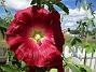 Stockros Årets första Stockros - Alcea Rosea Ficifolia                                2020-07-02 Stockros_0029
