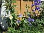 Storklocka En Iris Hollandica och en Stor Blåklocka. 2020-07-02 Storklocka_0009
