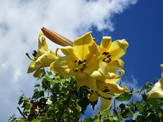 Trädliljor { Gula blommor mot blå himmel. }