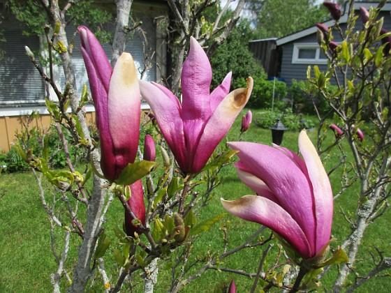 Magnolia                                 2021-05-24 Magnolia_0001 Granudden Färjestaden Öland