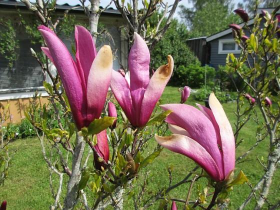 Magnolia                                 2021-05-24 Magnolia_0001b Granudden Färjestaden Öland