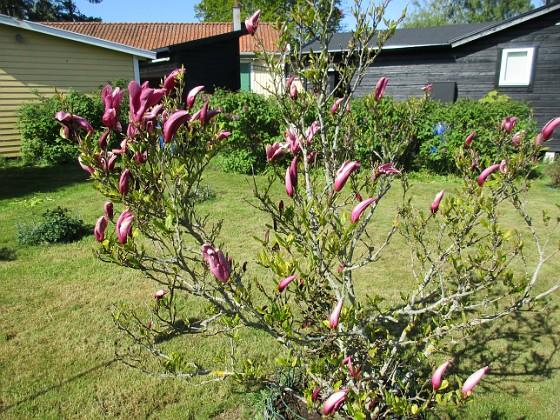 Magnolia                                 2021-05-24 Magnolia_0001c Granudden Färjestaden Öland