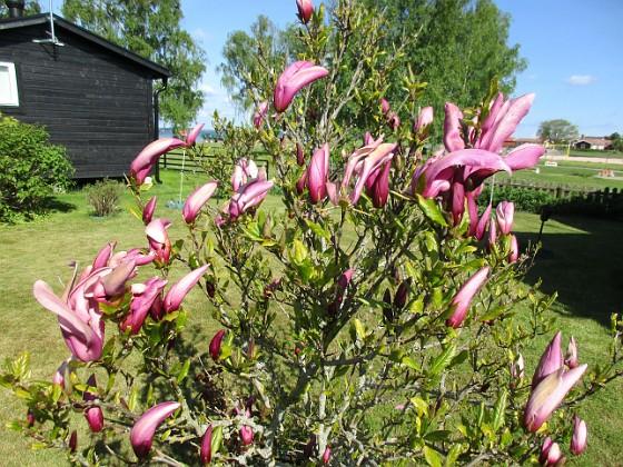 Magnolia                                 2021-05-24 Magnolia_0002c Granudden Färjestaden Öland