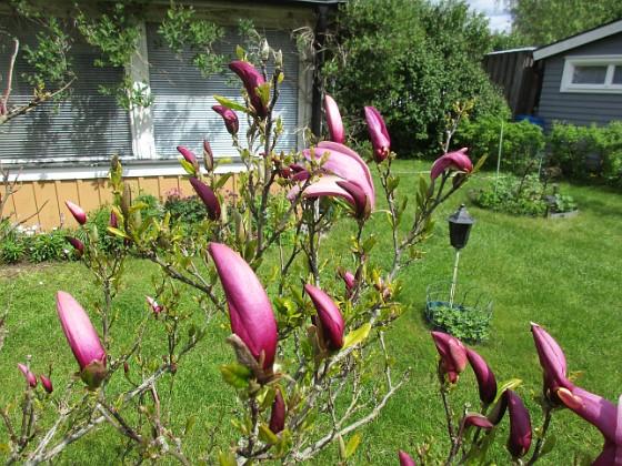 Magnolia                                 2021-05-24 Magnolia_0003 Granudden Färjestaden Öland