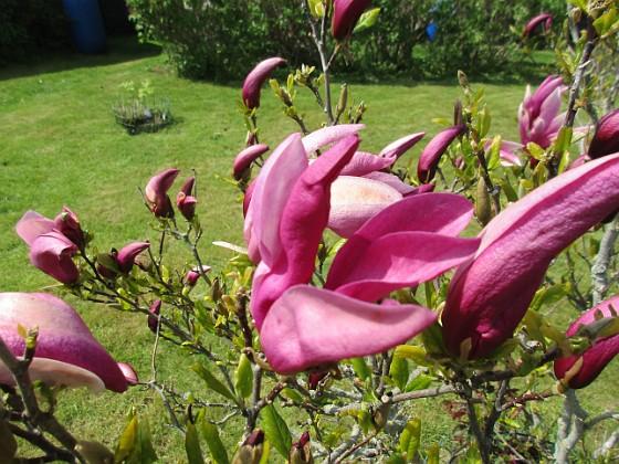 Magnolia                                 2021-05-24 Magnolia_0005b Granudden Färjestaden Öland