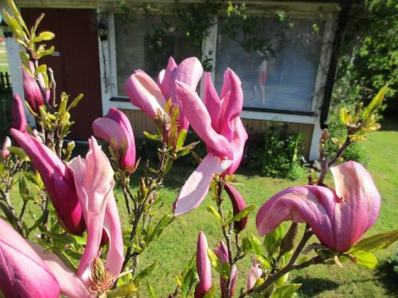 Magnolia                                 2021-05-24 Magnolia_0007c Granudden Färjestaden Öland