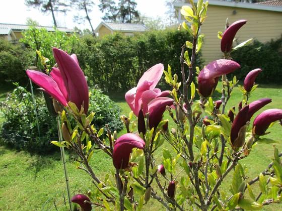 Magnolia                                 2021-05-24 Magnolia_0009b Granudden Färjestaden Öland