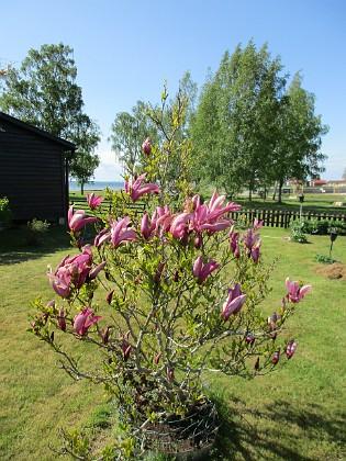 Magnolia                                 2021-05-24 Magnolia_0009c Granudden Färjestaden Öland