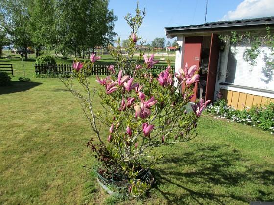 Magnolia                                 2021-05-24 Magnolia_0010c Granudden Färjestaden Öland