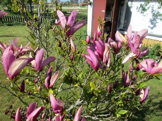 Magnolia                                 2021-05-24 Magnolia_0011c Granudden Färjestaden Öland