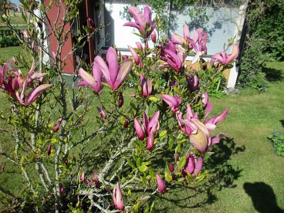 Magnolia                                 2021-05-24 Magnolia_0012c Granudden Färjestaden Öland