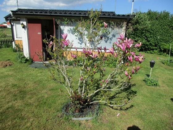 Magnolia                                 2021-05-24 Magnolia_0014c Granudden Färjestaden Öland
