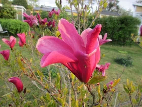 Magnolia                                 2021-05-24 Magnolia_0018b Granudden Färjestaden Öland