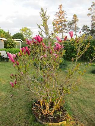 Magnolia                                 2021-05-24 Magnolia_0022 Granudden Färjestaden Öland