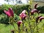 Magnolia                                 2021-05-24 Magnolia_0009b