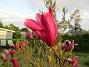 Magnolia                                 2021-05-24 Magnolia_0016c