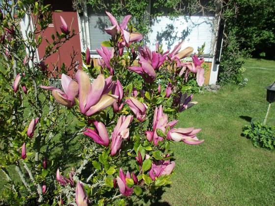 Magnolia                                 2021-05-29 Magnolia_0036 Granudden Färjestaden Öland