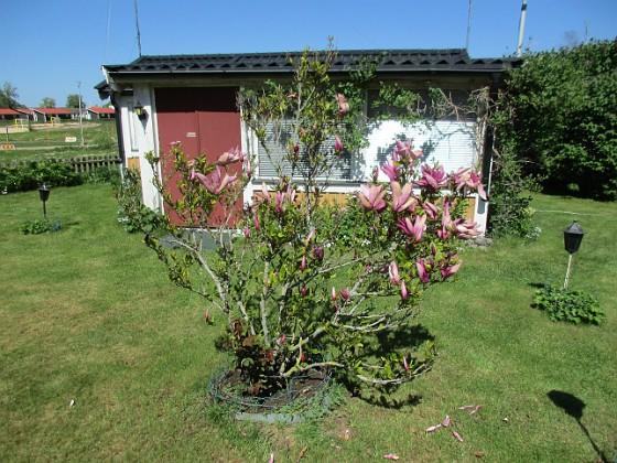Magnolia                                 2021-05-29 Magnolia_0037 Granudden Färjestaden Öland