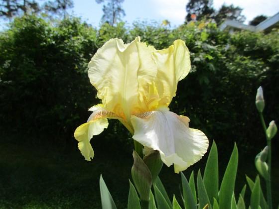 Iris {  Iris                               }