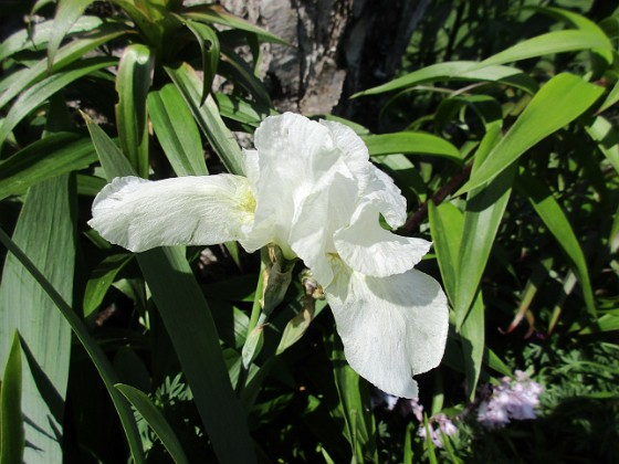 Iris 2021-06-02 Iris_0034 Granudden Färjestaden Öland