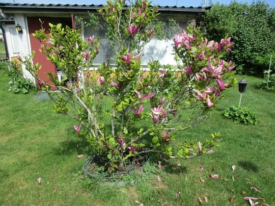 Magnolia Magnolia 2021-06-02 Magnolia_0006 Granudden Färjestaden Öland