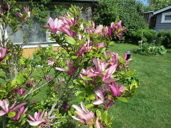 Magnolia Magnolia 2021-06-02 Magnolia_0007 Granudden Färjestaden Öland