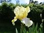 Iris                               (2021-06-02 Iris_0002)