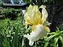 Iris Iris 2021-06-02 Iris_0003