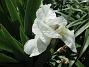 Iris (2021-06-02 Iris_0035)