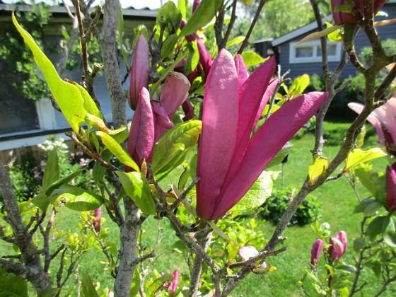 Magnolia                                 2021-06-03 Magnolia_0050 Granudden Färjestaden Öland